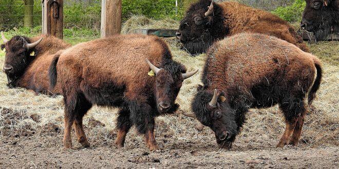 Gesunde Ernährung – hochwertige Premiumsteaks vom Bison