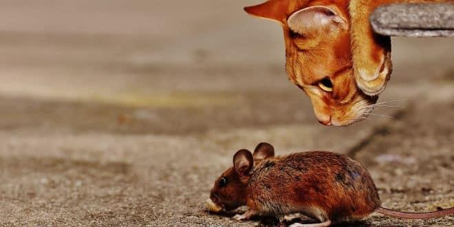 Ein Parasit lässt Mäuse ihre Angst vor Katzen vergessen