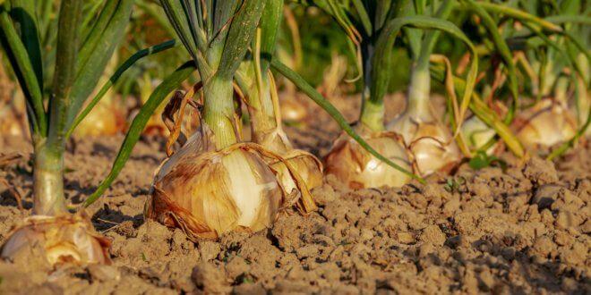 Bodenaufwertung mit Hanf bzw. Cannabis