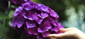 Hortensien – Die idealen Pflanzen für Ihren Garten